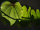 Leaf light and shadows